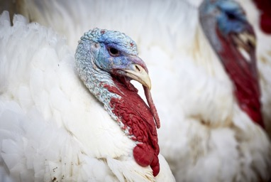 Turkey with a sagging neck